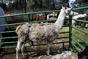 Llama Shearing 1