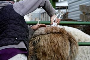 llama Shearing 3
