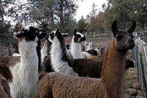Llama Shearing 2